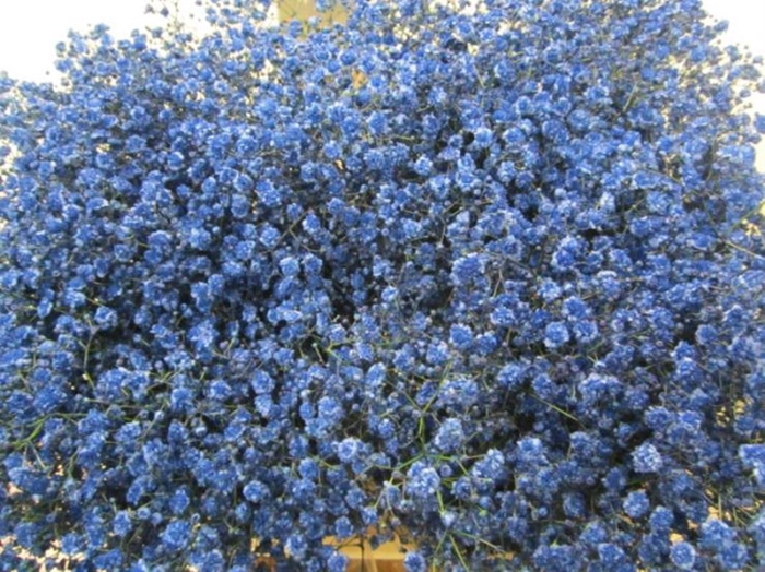 <h4>Gipsophilla Xlence Blauw</h4>