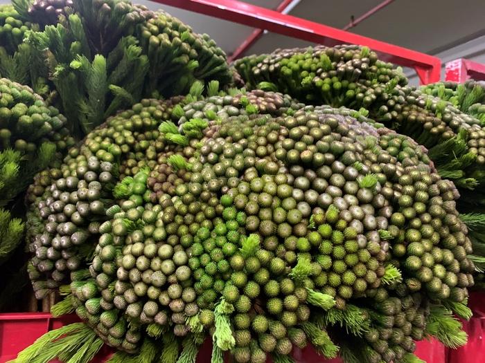 <h4>Greens - Brunia Albiflora</h4>