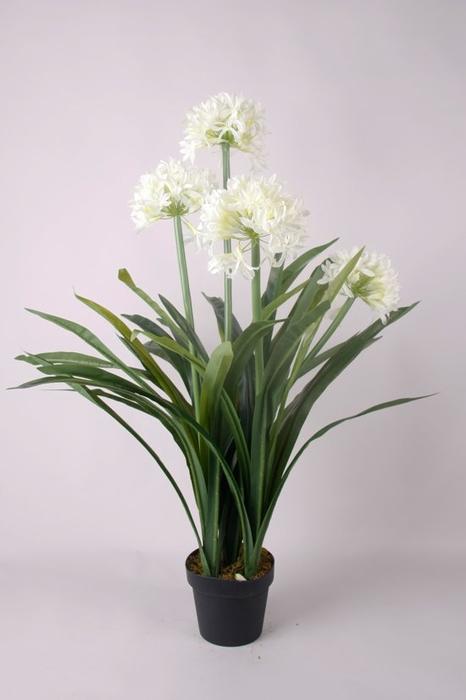 <h4>Agapanthus blanco M-19</h4>