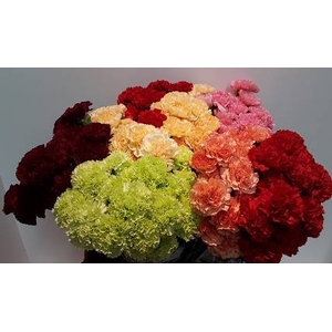 Dianthus St Mix P/Color Wh/Yel/Or/Red/Pink/Bicolor