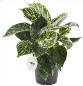 <h4>Philodendron White Measure 11Ø 35cm</h4>