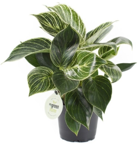 <h4>Philodendron White Measure 11Ø 35cm</h4>