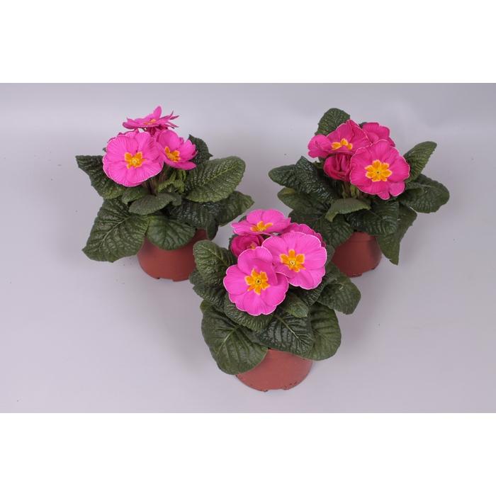 <h4>Primula acaulis Rose</h4>