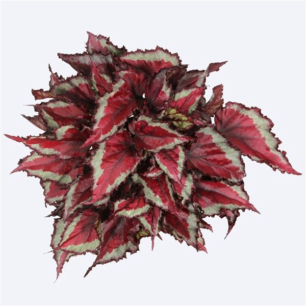 <h4>Begonia Magic Colours Spitfire</h4>