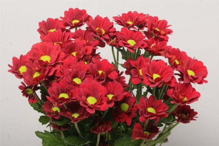 <h4>Chrysant T Redstart</h4>
