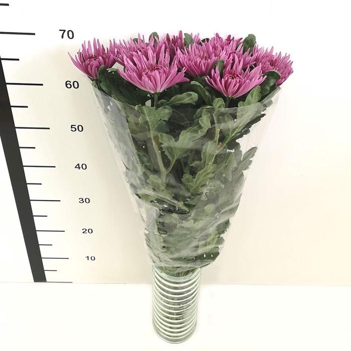 <h4>Chrysanthemum monoflor anastasia morada</h4>