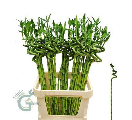<h4>Drac S Lucky Bamboo 90 Cm</h4>