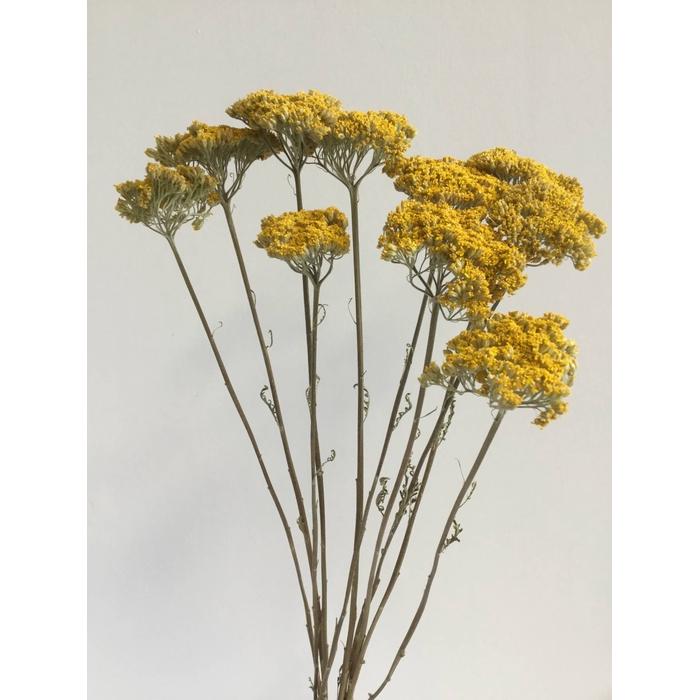 <h4>DRIED FLOWERS - ACHILLEA YELLOW 10PCS</h4>