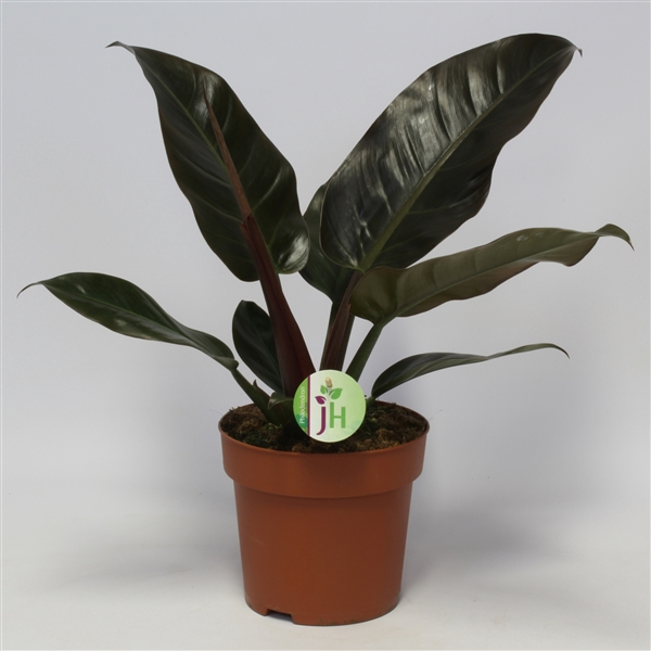 <h4>Philodendron Imperial Red</h4>