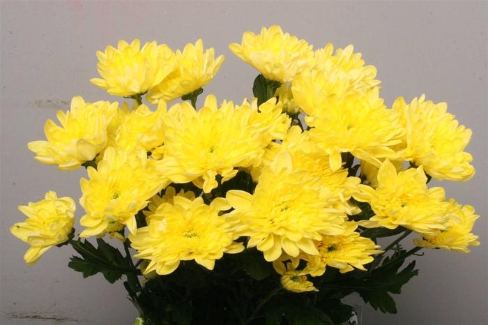 <h4>Chrysant T Baltica Geel</h4>