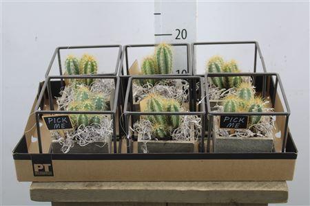 <h4>Arr Cactus In Frame</h4>