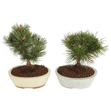 <h4>Bonsai A7217000 Pinus Keramiek</h4>