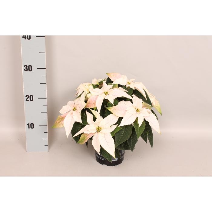 <h4>Poinsettia 13 cm Princettia Pearl White</h4>