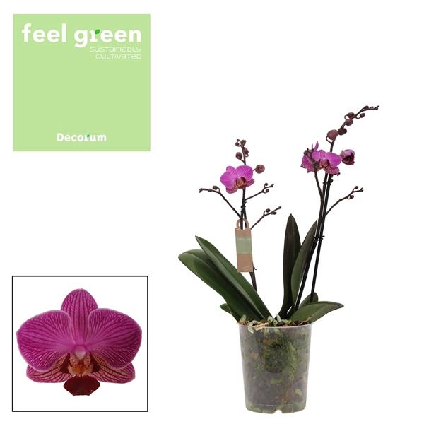 <h4>Phalaenopsis mf. Perceval</h4>