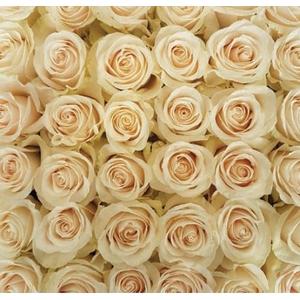 Rosa Cream Vendela