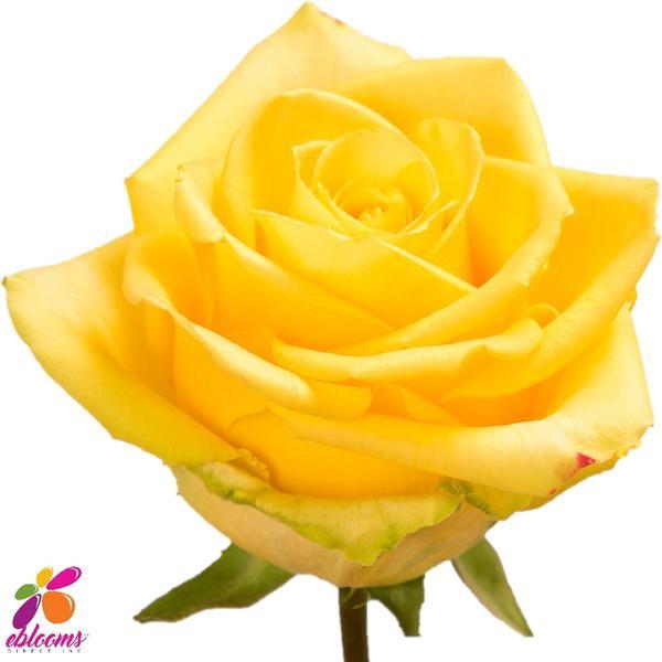 <h4>R Gr Brighton Yellow 60cm EC</h4>