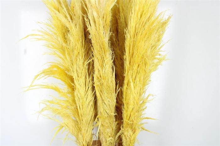 <h4>Cortaderia Honeycomb Yellow</h4>