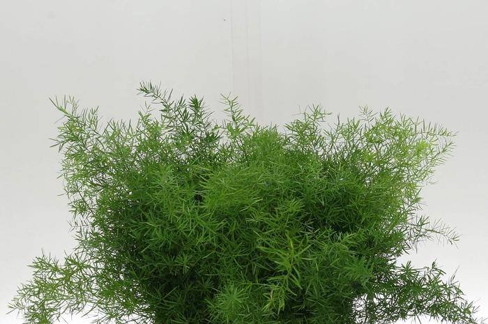<h4>Asparagus Dens Sprengeri</h4>