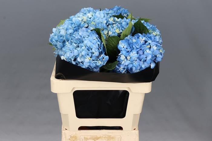 <h4>Hydrangea Shocking Blue Select</h4>