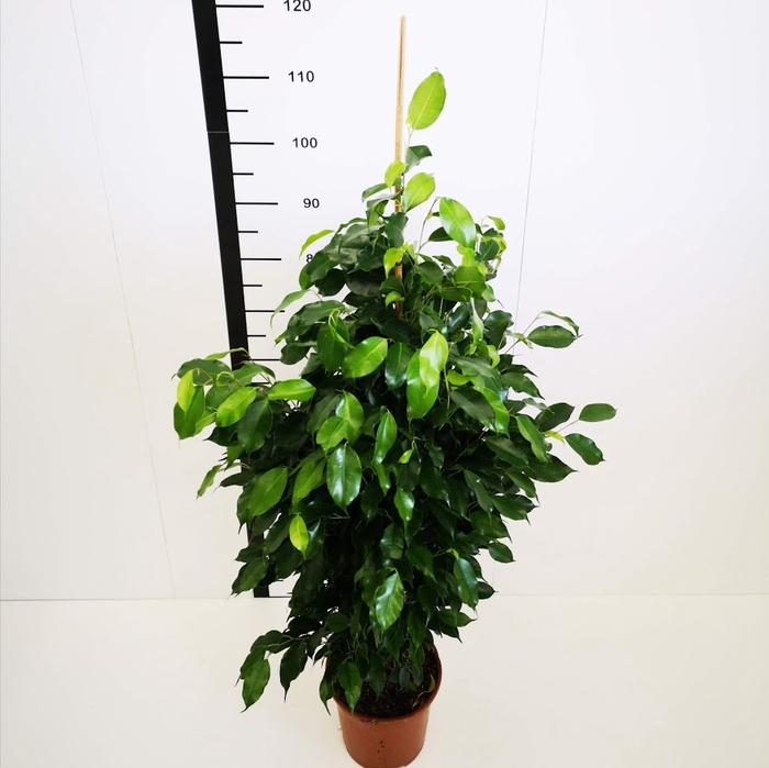 <h4>Ficus danielle</h4>