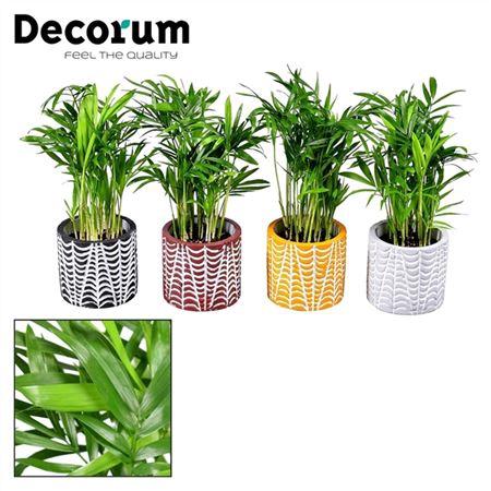 <h4>Chamaedorea Elegans 7 Cm In Pot Croco (decorum)</h4>