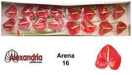 <h4>Anthurium Arena</h4>