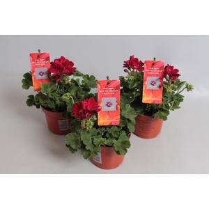 Pelargonium Calliope M Dark Red