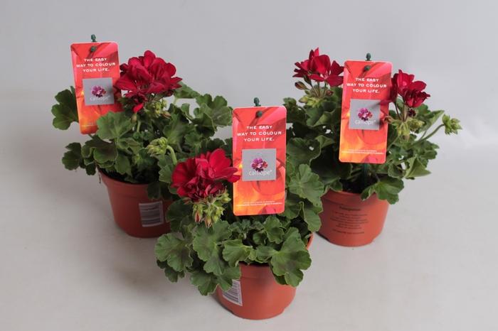 <h4>Pelargonium Calliope M Dark Red</h4>