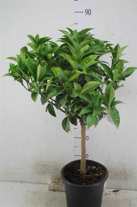 <h4>Citrus Sinensis Arancia Op Stam Orange</h4>