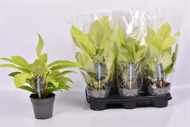 <h4>Philodendron 'Malay Gold'</h4>