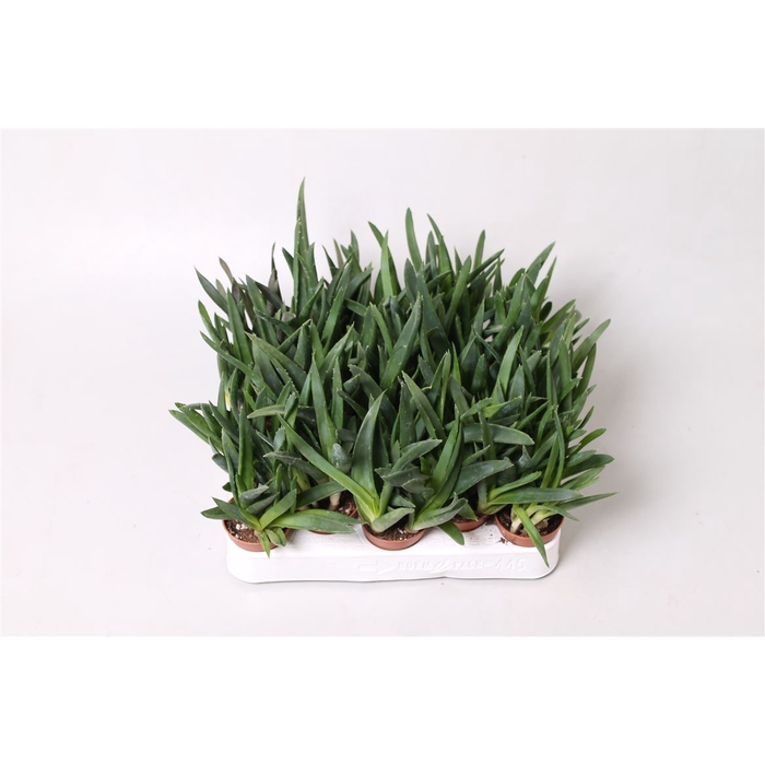 <h4>Aloe Black Gem</h4>