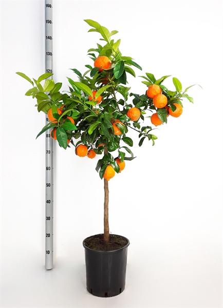 <h4>Citrus   ...</h4>