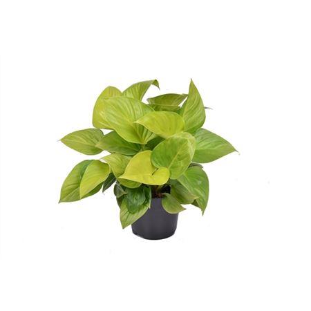 <h4>Homalomena Lemon Lime P15</h4>