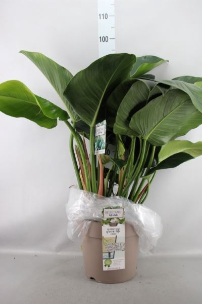 <h4>Philodendron   ...</h4>