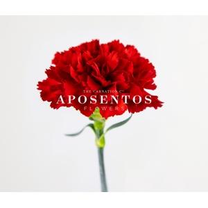 Clavel Rojo standard (APOSENTO)
