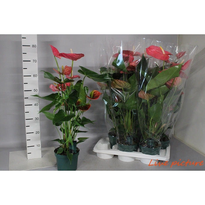 <h4>Anthurium Andr. Colorado</h4>
