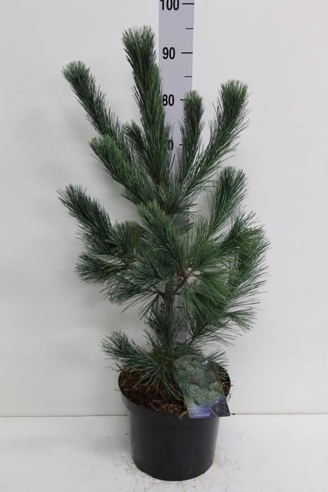 <h4>Pinus   ...</h4>