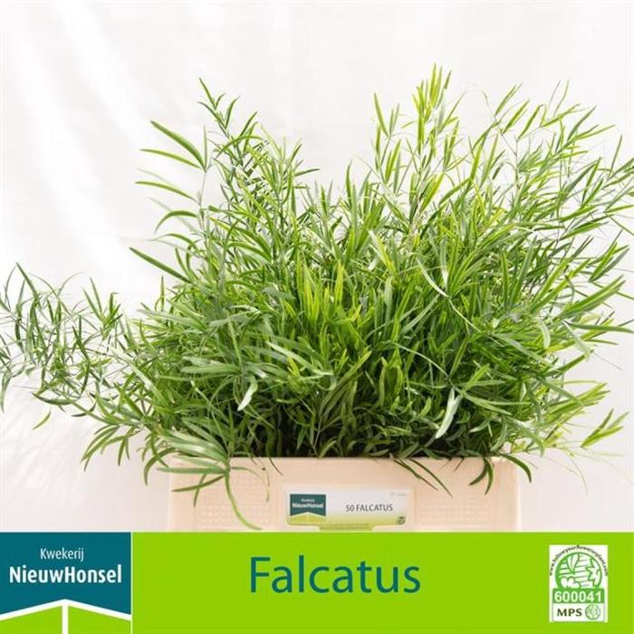 <h4>Asp Falcatus</h4>