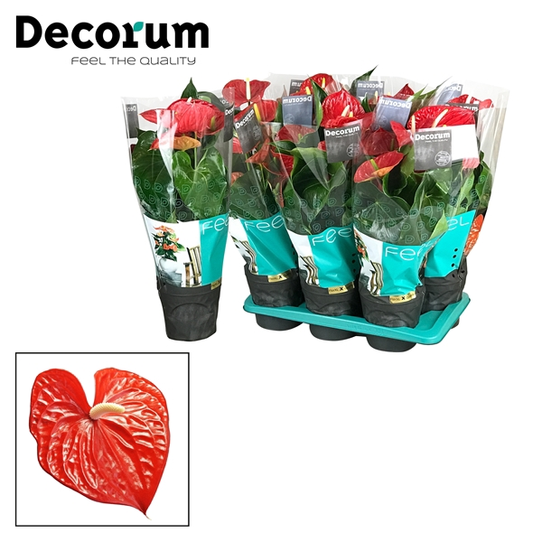 <h4>Anthurium Michigan pot 17 X sortering</h4>