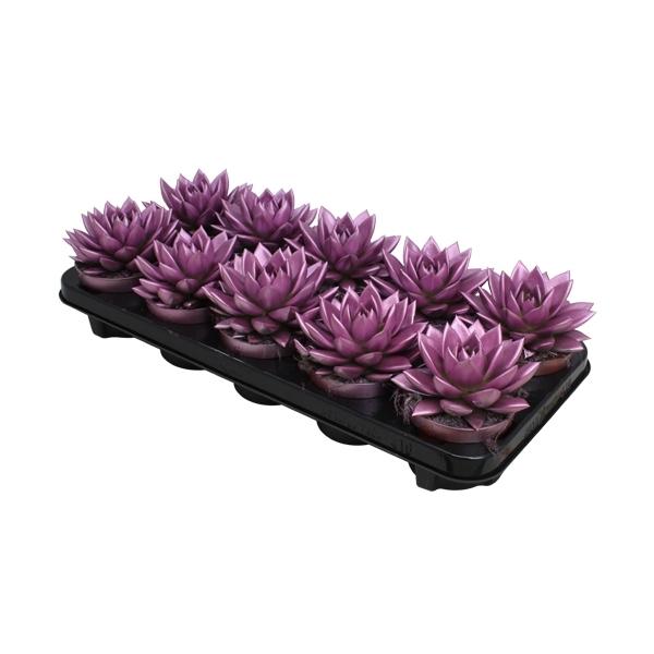 <h4>Echeveria coloured metallic pink</h4>