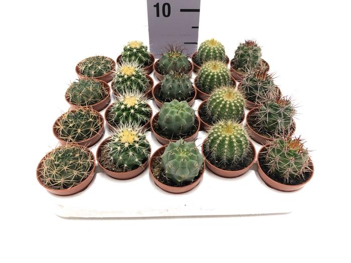 <h4>Cactus mix 5,5Ø 5cm</h4>