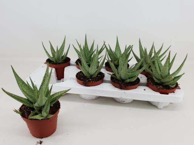 <h4>Aloe R Snow Flake</h4>