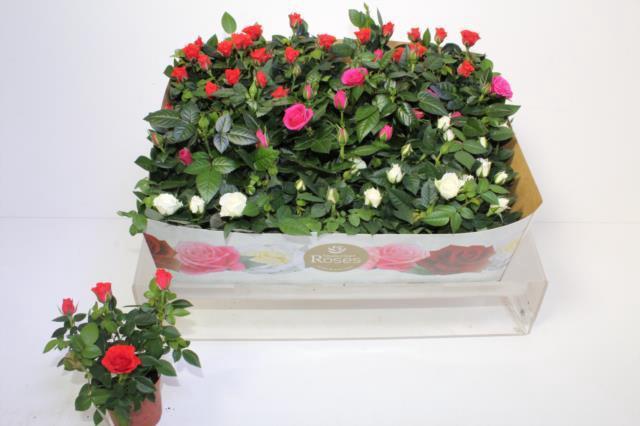 <h4>Rosa Favourite Roses gemengd 3 soorten</h4>