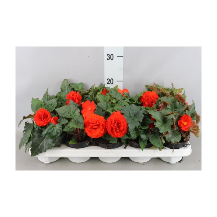 <h4>Begonia tuber. Go-Go Orange</h4>