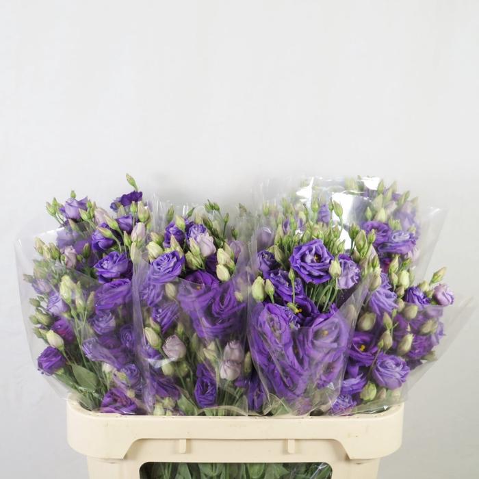 <h4>Lisianthus azul</h4>
