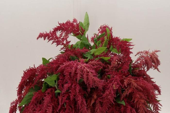 <h4>Amaranthus Ca Red Spider</h4>