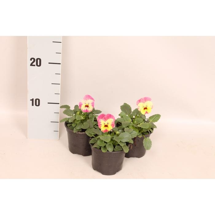 <h4>Viola cornuta sixpack F1 Pinapple Crush</h4>