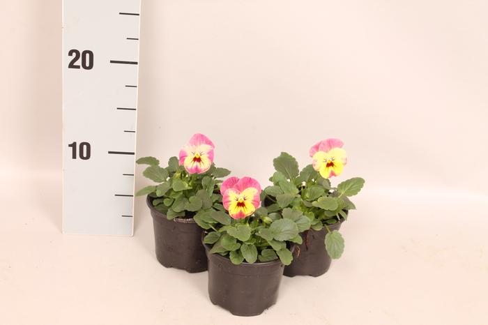 Viola cornuta F1 Pinapple Crush