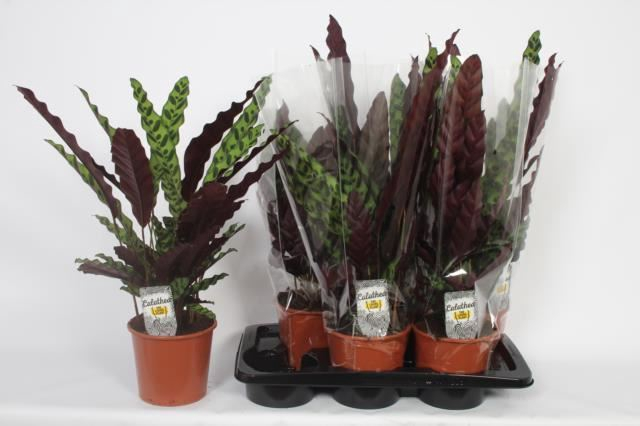 <h4>Calathea lancifolia</h4>