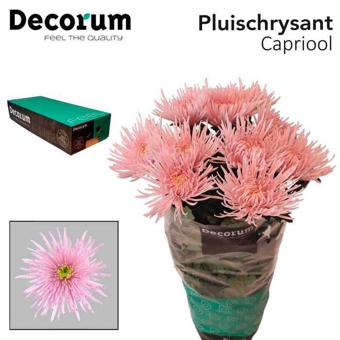 <h4>Chrysanthemum PL 'Capriool'</h4>